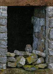 Little owl watching the snow (Lee Myers - aka mido2k2) Tags: barn owl peak district little raptor prey bird avian ornithology watching villager rural countryside nature natural wildlife nikon d5300 snow winter weather sigma 150500mm hide hidden wild free ruin abandoned derelict building drystone limestone derbyshire uk yorkshire bbc springwatch winterwatch wex countryfile