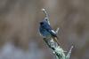 _F0A7459.jpg (Kico Lopez) Tags: colirrojotizón galicia lugo miño phoenicurusochruros spain aves birds rio