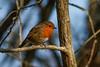 _F0A7417.jpg (Kico Lopez) Tags: erithacusrubecula galicia lugo miño petirrojo spain aves birds rio