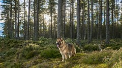 Wolf in the woods (Tidyshow) Tags: misha kai dog bitch tree woods forest green german shepherd scotland scottish highland beautiful golden gold landscape pet happy sony a77ii 1650