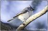 Tufted Titmouse_DSC6987 photoshop NIK edit © (nkatesphotography) Tags: peacevalleypark naturecenter fountainvillepa nikond4 nikonafs300mmf4epfedvr nikontc14ell birds wildlife nature tuftedtitmouse