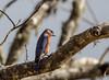 Wait and Watch (Gabriel FW Koch) Tags: bluebird songbird wild wildlife tree canon telephoto