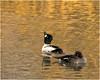 On Golden Pond (hisdream) Tags: goldeneye wildbirds golden pond pair ducks