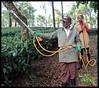 Pesticide spraying in tea estate (Indianature st2i) Tags: valparai westernghats tamilnadu tea indianature india indiragandhiwildlifesanctuary anamalaitigerreserve anamalais anamallais 2016 2017 nature pesticide spraying stanmoreestate