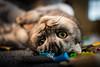 Lego Cat! (Natural Photography by CJH) Tags: cat scottishfold katze lego livingroom klappohrkatze klappohr wohnzimmer home carpet rug bokeh nikon d500 nikond500 peakdesign pd peakdesignstrap peakdesignslide social flickr share europe eu deutschland germany de nikkor 50mm 35mm animal pet