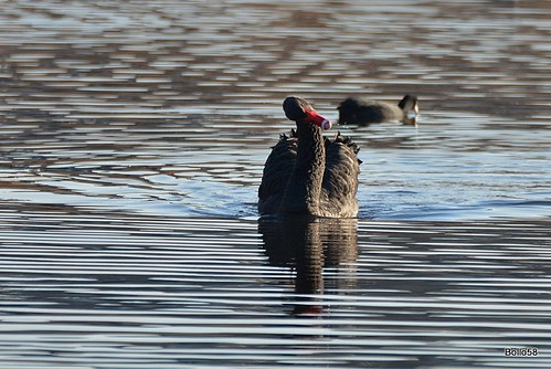 Black Swan - La Clare Mare Nature Reserve, Guernsey 30-12-2016 15-13-57