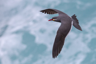 Inca Tern - Larosterna inca - Gaviotín monja in Flight, Flying