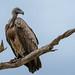 Weißrückengeier / White-backed Vulture