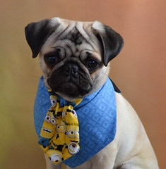My Minion Little Boo (DaPuglet) Tags: pug pugs dog dogs puppy puppies animals animal minion minions tie cute costume alittlebeauty coth sunrays5 coth5 fantasticnature