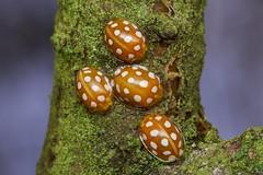 orange ladybird, Halyzia 16-guttata (David_W_1971) Tags: coleopteracoccinellidae jow2017 raynox dcr250
