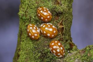 orange ladybird, Halyzia 16-guttata