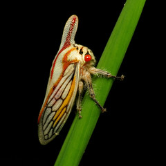 Oak Treehopper (treegrow) Tags: huntleymeadows virginia lifeonearth nature canonpowershotsx40hs raynoxdcr250 arthropoda insect hemiptera membracidae platycotisvittata taxonomy:binomial=platycotisvittata
