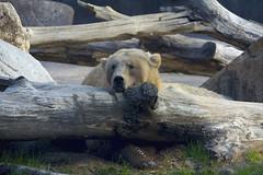 grizzly bear (ucumari photography) Tags: ucumariphotography riverbankszoo columbia sc south carolina february 2017 oso bear grizzly brown animal mammal dsc6578