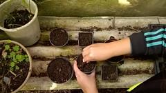 Plantando pinhes (askforjazz) Tags: paran brasil curitiba sementes outono mudas pinho plantando