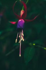 Elegant dancer (Be Good Be Bad Just Bee) Tags: flower nature garden dance flora beast greenery sleek