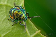 Shield-backed bug (Scutelleridae) - DSC_1219 (nickybay) Tags: macro bug singapore sungeibuloh scutelleridae sungeibulohwetlandreserve shieldbacked