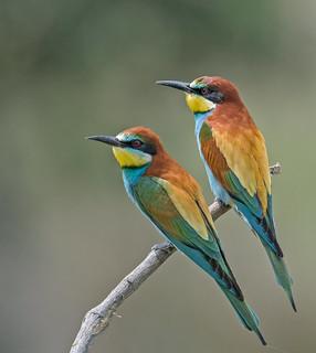 Bee-eaters (Merops apiaster)
