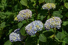 Blue hydrangea (GardenTraveller) Tags: park blue france floral gardens garden french jardin william normandie hydrangea normandy parc hortensia macrophylla offranville farcy