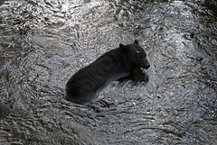 Just Coolin' Off (trumansnare) Tags: bear park mountain black nature animal river great fork trail national motor smoky roaring