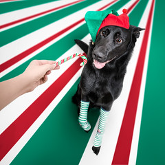 You've been good my little elf, here, take some candy (DigitalBite) Tags: dog dogphotography gsd germanshepherddog newyear elf candy candycane costume