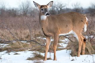White Tailed Deer - Buck