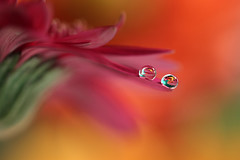 In red (Marilena Fattore) Tags: macro canon tamron red waterdrop droplet nature closeup floralfantasy reflection bokeh orange green pastel flower garden light