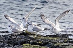 Mew Gull (David Badke) Tags: oakbay bc bird