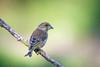 Prof (Jacques GUILLE) Tags: 09 ariège carduelischloris domainedesoiseaux europeangreenfinch fringillidés mazères passériformes verdierdeurope bird oiseau