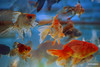 2016-12-211  aquarium (profmarilena) Tags: aquarium art artwork fantasy creative goldfish comet cometgoldfish acquario collage