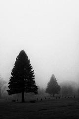 Trees Fog Grain - 12/100 X (mfhiatt) Tags: blackandwhite trees fog desmoines iowa grain 100xthe2017edition 100x2017 image12100 dscf00300117jpg minimalist minimalism minimal