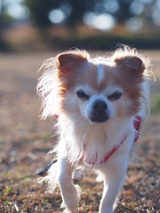ピノ2017-01-23 15.44.05 (やんちゃなちわわ) Tags: ピノ pino 犬 dog チワワ chihuahua