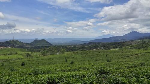 Highland Tea Farm