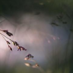 Kupferhirse sonnt sich... (angelika.kart) Tags: natur pflanzen gras gräser garten sonne bokeh