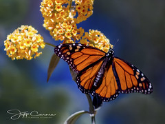 monarch2 (Jeff Carnie Studios) Tags: pacificgrove californiaphotographer entomology insecets monarchgrove butterflies