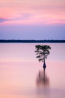 Lone Cypress...  Lake Moultrie, South Carolina