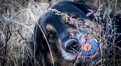 Baxter (Jane Olsen ( Chardonnay)) Tags: outdoor dog animal pet ball grass calgary