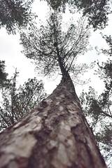 Tree of trees (Jason Shorten) Tags: spruce pine larch british woodland wellsnextthesea trees norfolk uk bendytree nauture