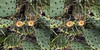 Prickly Pair (Matt Molloy) Tags: mattmolloy photography 3d stereoscopic crosseye depth pricklypear cactus opuntia fruit spines spikes green arboretum guelph ontario canada nature lovelife