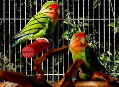 f_theboyds1 (ricksoloway) Tags: tucsonarizona thewestisbest arizonamojo birds lovebirds pets petbirds samsungs6 samsunggalaxys6