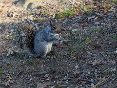 Lunch in Central Park (Bob90901) Tags: lunch centralpark newyorkcity squirrel autumn animal rpg90901 canon 6d canonef24105mmf4lisusm 2016 december 1146 shade