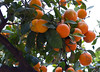 apples of orange (herman hengelo) Tags: elements applesoforange oranges valencia spain spanje