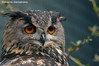 European eagle owl - Olmense Zoo (Mandenno photography) Tags: dierenpark dierentuin dieren animal animals olmense olmensezoo olmen belgie belgium bird birds owl oehoe european europeese