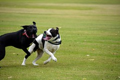 DSC_0042-1 (ScootaCoota Photography) Tags: animal pet dog border collie labrador rescue adopt dont shop outdoors play park staffy pit bull bully