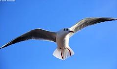 Seagull - Piran January 2017 06 (reineckefoto) Tags: seagulls piran sea blue sky bird