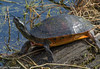 Is This My Best Side? (11Jewels) Tags: canon 70300 redbelliedcooter turtle alley alligatoralley circlebbarreserve lakelandfl florida