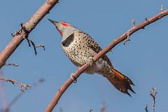 Northern Flicker, Red-shafted (Colaptes auratus) (byjcb) Tags: birds flicker reno nevada unitedstates