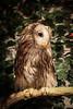 20161231-IMG_5033 (stringer8247) Tags: owl forest harajuku tokyo japan