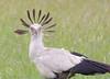 IMGP9403b (Micano2008) Tags: kenia africa pentax parquenacional masaimara aves secretario sagittariusserpentarius