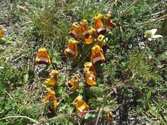 Calceolaria uniflora (Linda DV (away)) Tags: canonpowershotsx40hs 2016 geotagged lindadevolder travel southamerica argentina patagonia chile torresdelpaine ribbet calceolariaceae calceolariauniflora yellowandred