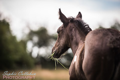 Foal Eating Grass (sophiecallahanphotography) Tags: horse pony equine equestrian foal colouredhorse piebald eatinggrass horseinfield